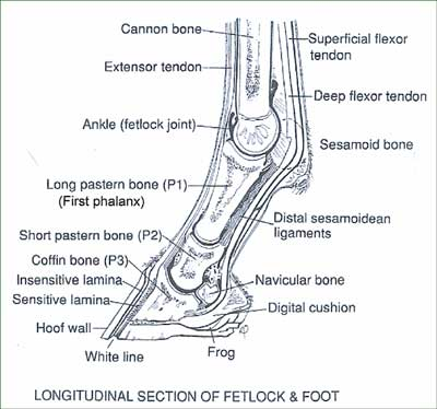 Diagram    of the Lower    Leg    and Hoof   WILL DAVIDSON FARRIER